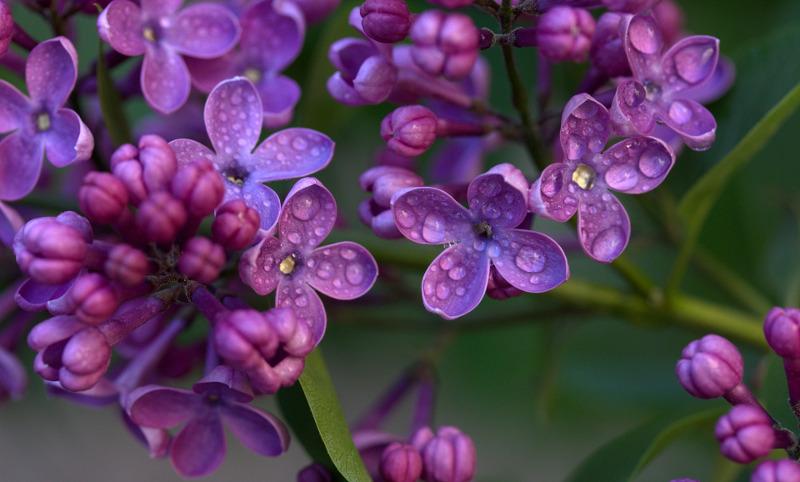 wet-lilac-flowers.jpg