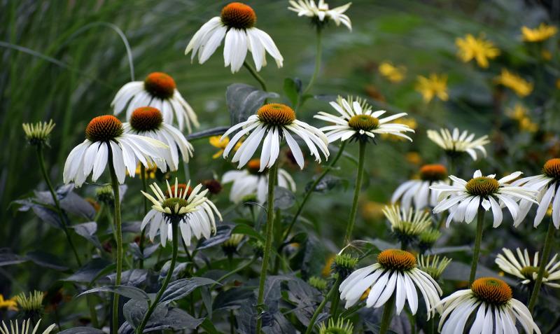 white-flowered-coneflower-plants.jpg