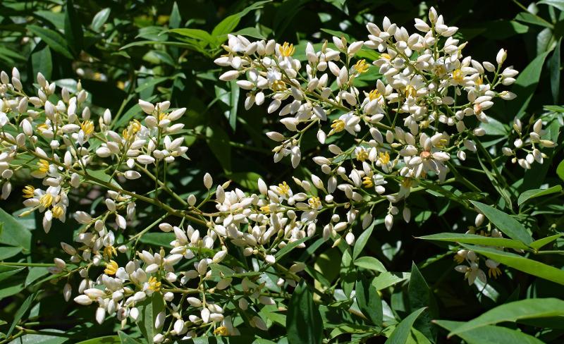 white-nandina-flowers.jpg