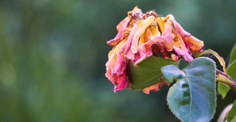 wilted-rose-bloom-needs-deadheaded.jpg