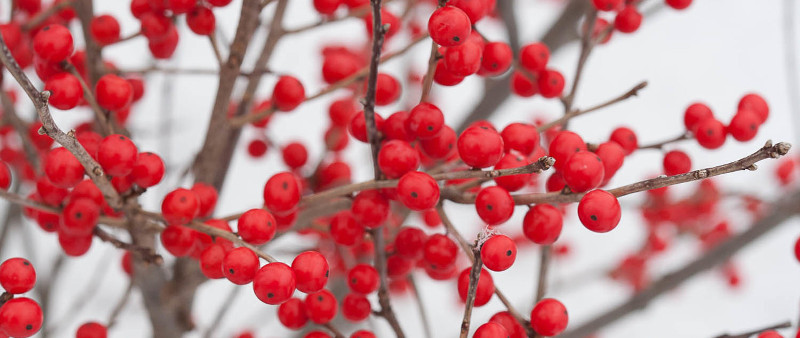 winterberry-holly-in-winter.jpg