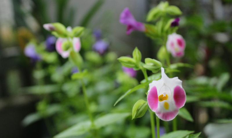 wishbone-bloom-and-flower-bud-close-up-1.jpg