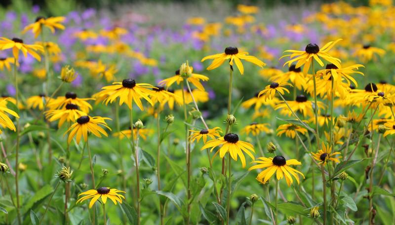 yellow-coneflower-plants-blooming.jpg