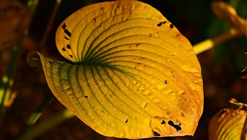yellow-hosta-leaf-in-the-fall.jpg