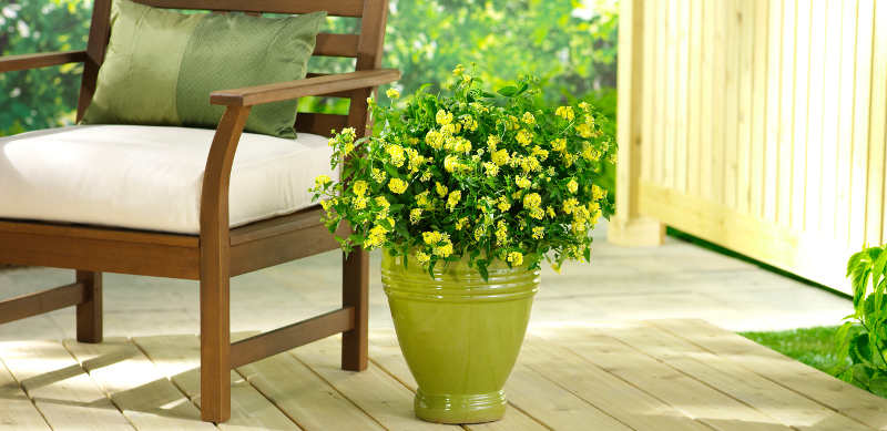yellow-lantana-growing-in-planters.jpg