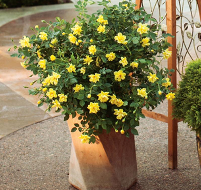 yellow-rose-bush-in-planter.jpg