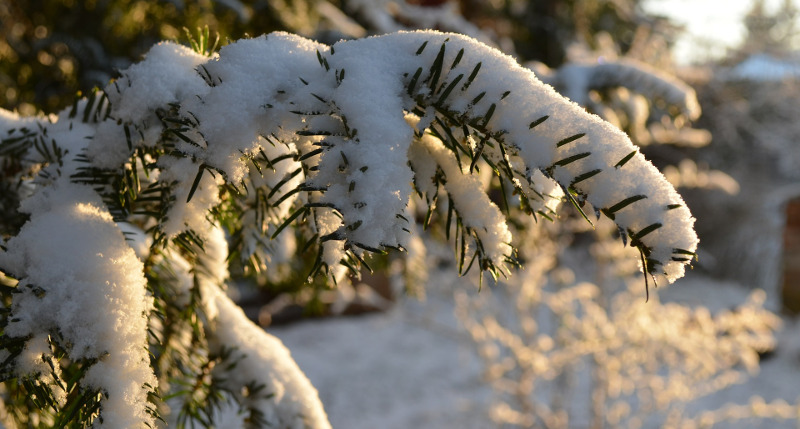 yew-branch-covered-in-snow.jpg