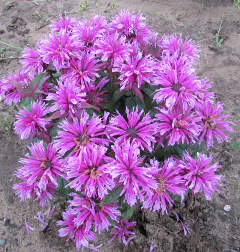 young-bee-balm-plant-in-the-soil-1.jpg