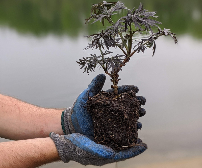 young-elderberry-plant-and-rootball.jpg