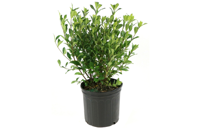 young-gardenia-plant-in-container-from-the-nursery-ready-to-be-planted.jpg