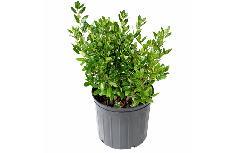 young-holly-plant-in-container-from-the-nursery.jpg