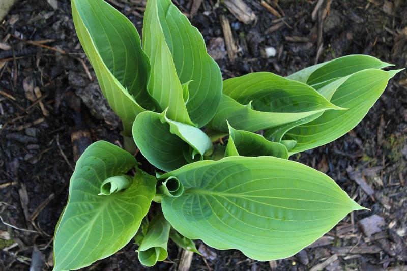 young-hosta-leaves-growing.jpg