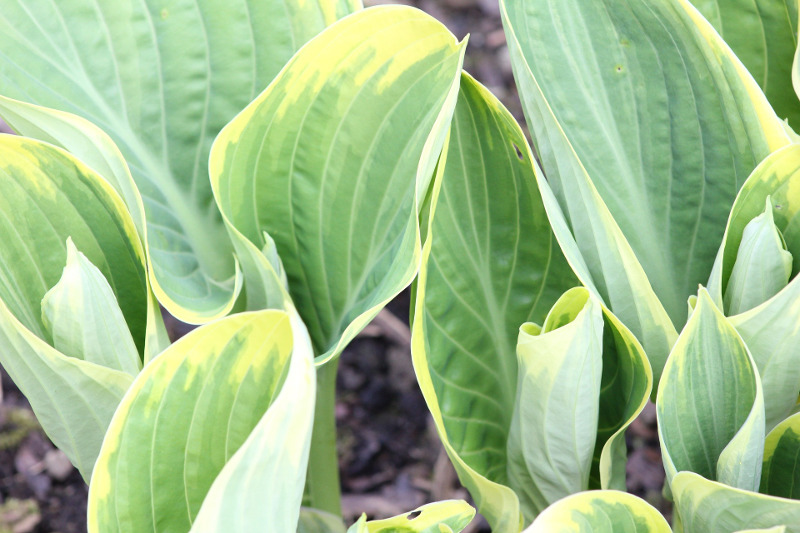 young-hosta-plants.jpg