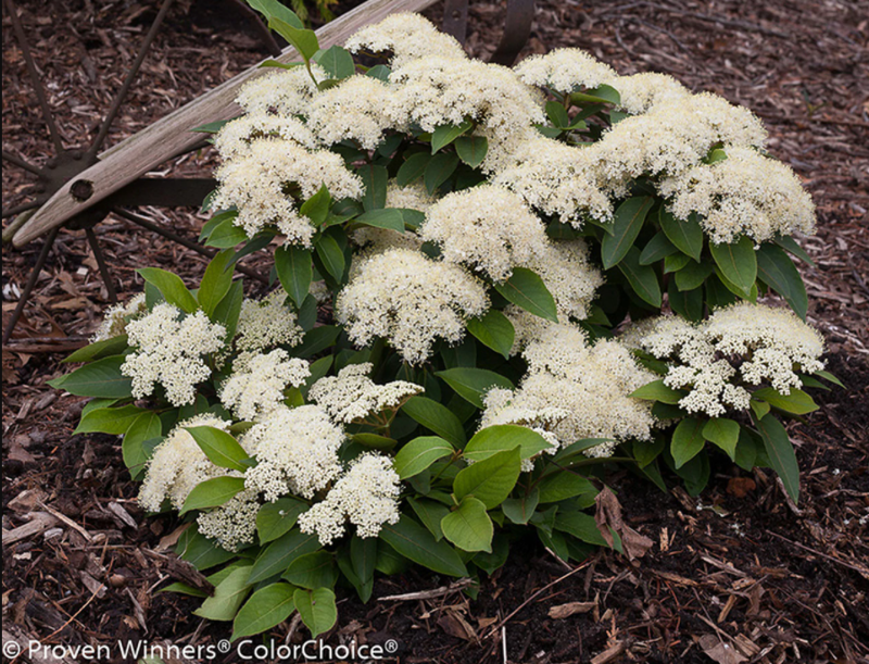 young-viburnum-shrub-in-the-garden.png