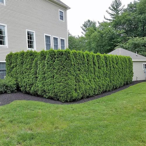 Emerald Green Arborvitae Plantaddicts Com