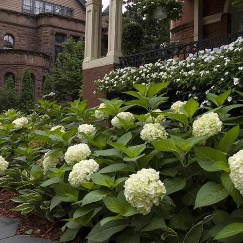 Endless Summer Blushing Bride Hydrangea Plantaddicts Com