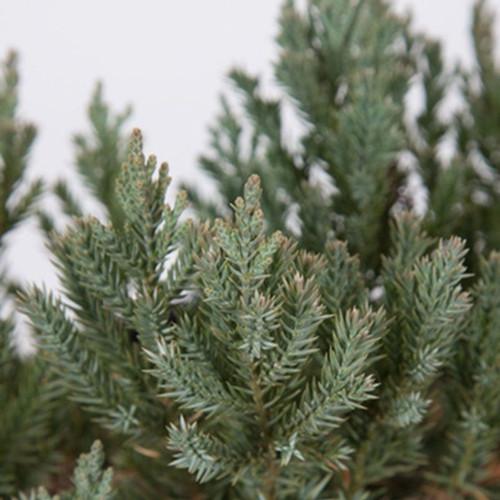 Parsoni Juniper Plantaddicts Com