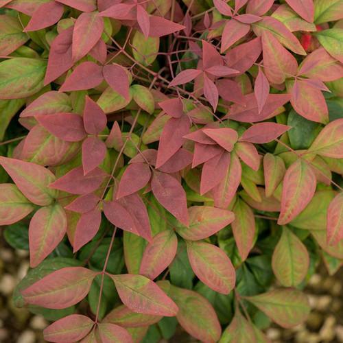Blush Pink Nandina Plantaddicts Com