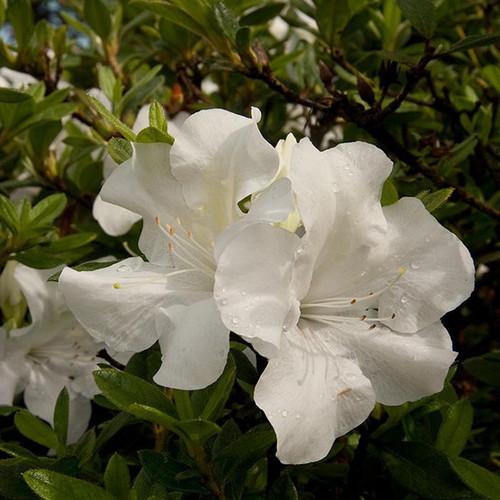 Autumn Ivory Encore 174 Azalea Plantaddicts Com
