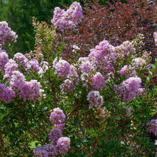 Early Bird Lavender Crape Myrtle Plantaddicts Com