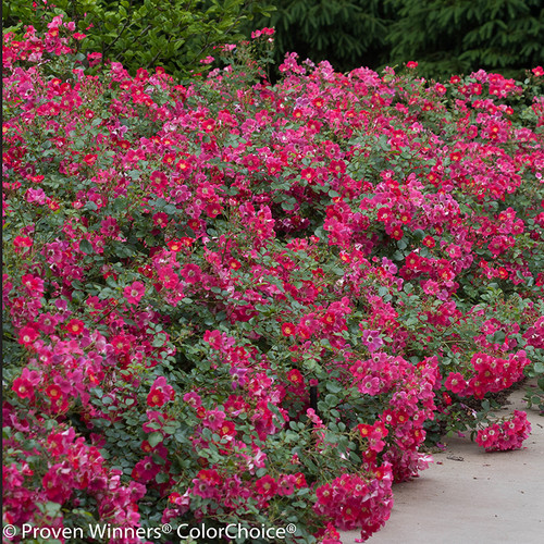 Oso Easy 174 Cherry Pie Rose Bushes Plant Addicts