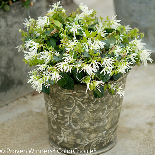 Jazz Hands 174 Dwarf White Loropetalum Shrubs Plant Addicts