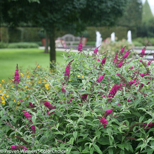 Miss Ruby Butterfly Bush Plant Addicts