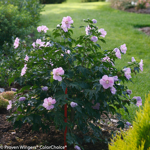 Pollypetite Rose Of Sharon Plant Addicts