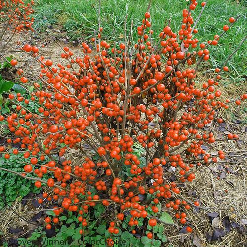 Little Goblin 174 Orange Winterberry Holly Plant Addicts