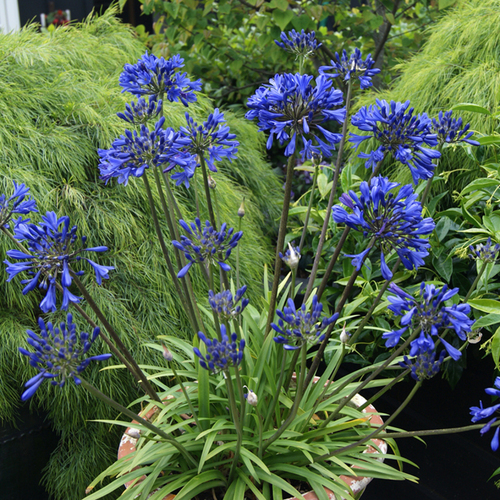 Little Blue Fountain Agapanthus Plantaddicts Com