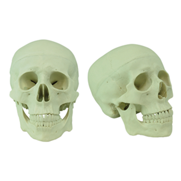 Human Skull Model, Life Sized, 3 Parts, Detailed, 21 x 18 x 15 cm, Made of PVC