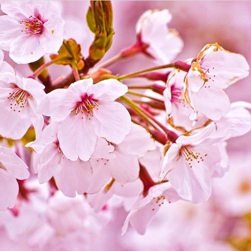Cherry Blossom (TFA)