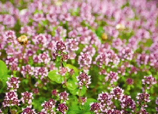 Marjoram blossoms