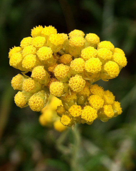 Helichrysum blossoms