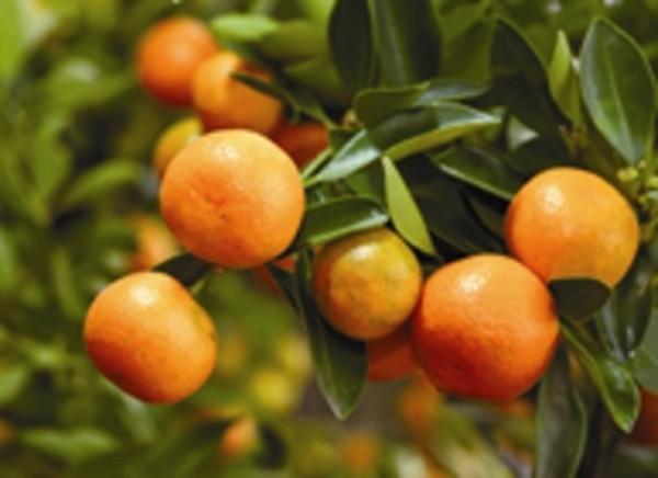 Mandarin Green fruit