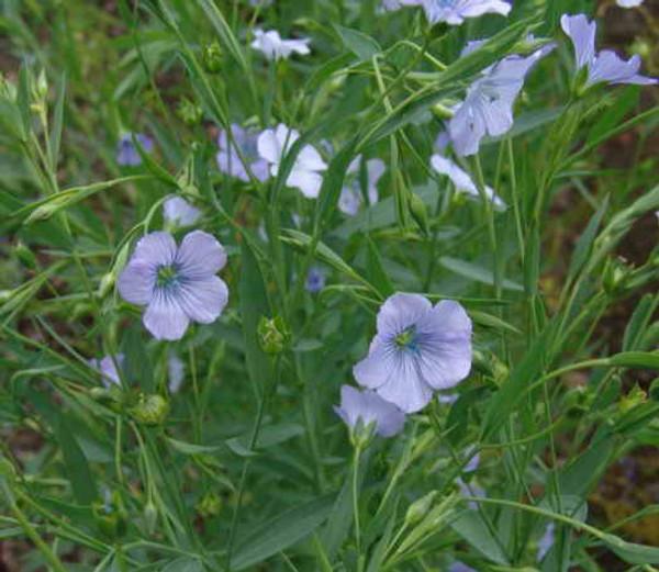 Flax Virgin Organic