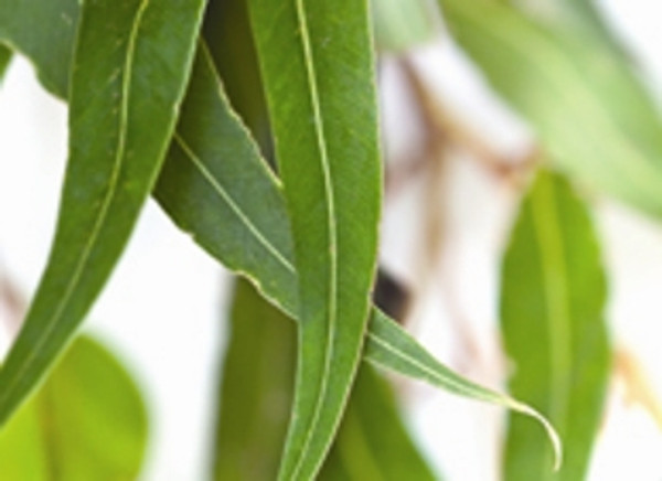 Eucalyptus Leafs