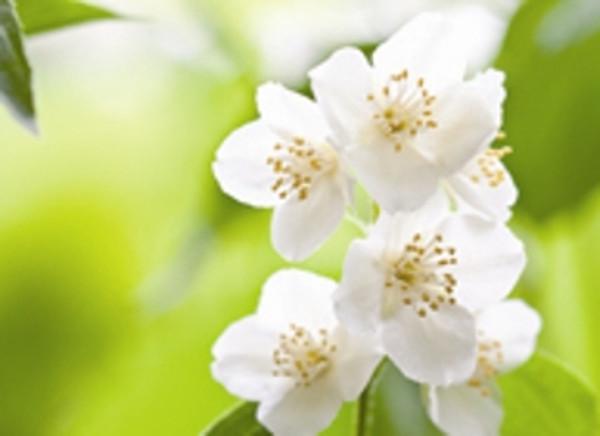 Jasmine sambac flowers