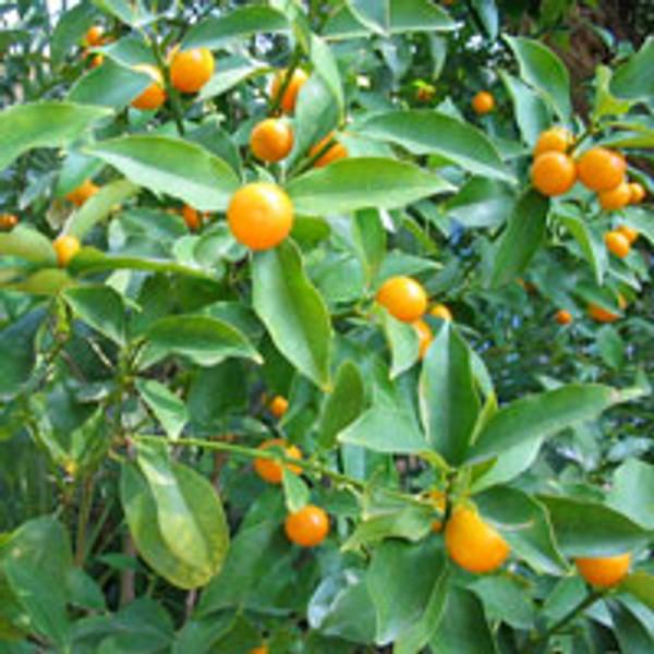 Petitgrain fruit