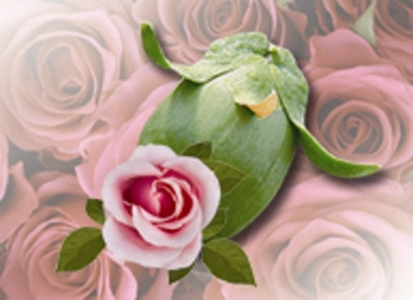 Rose Absolute in Jojoba