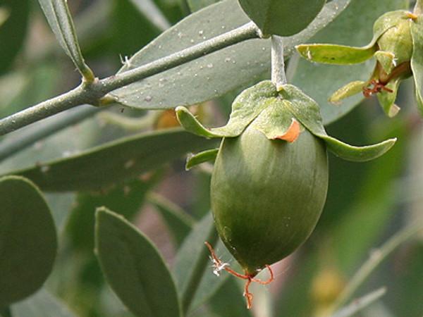 Jojoba, Certified Organic