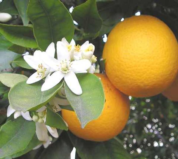 Oranges blossom