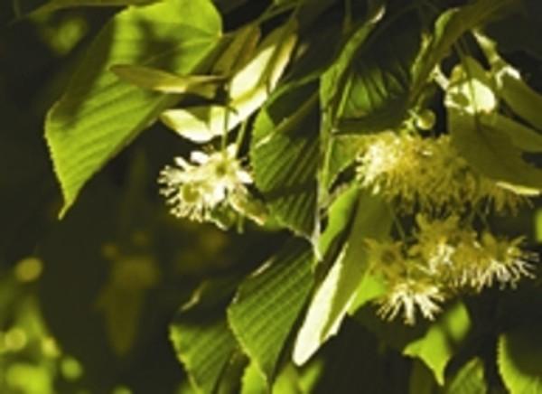 Tea tree flower