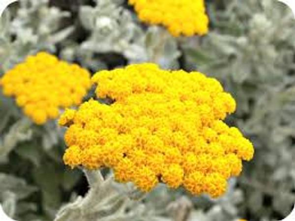 Helichrysum 10% In Jojoba