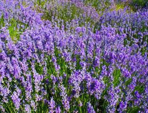 Lavandin Grosso Flowers
