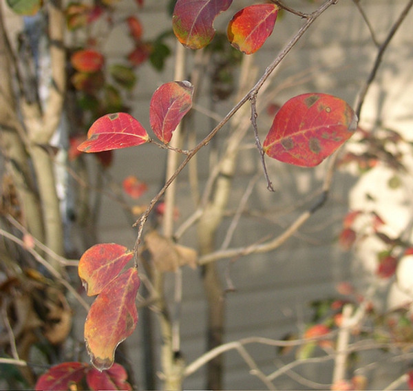 Myrlte leaf red cineole