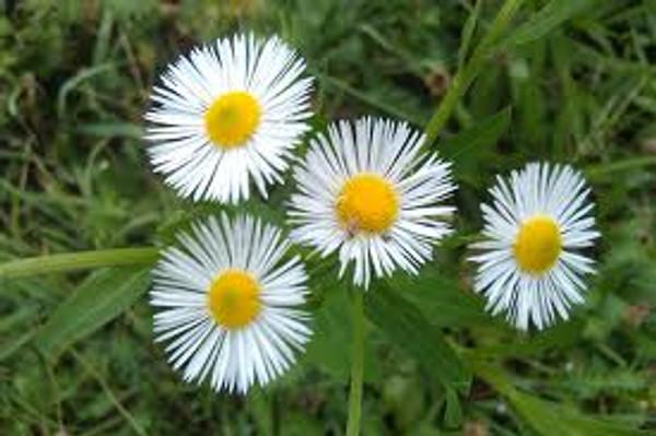 Erigeron Fleabane Flower