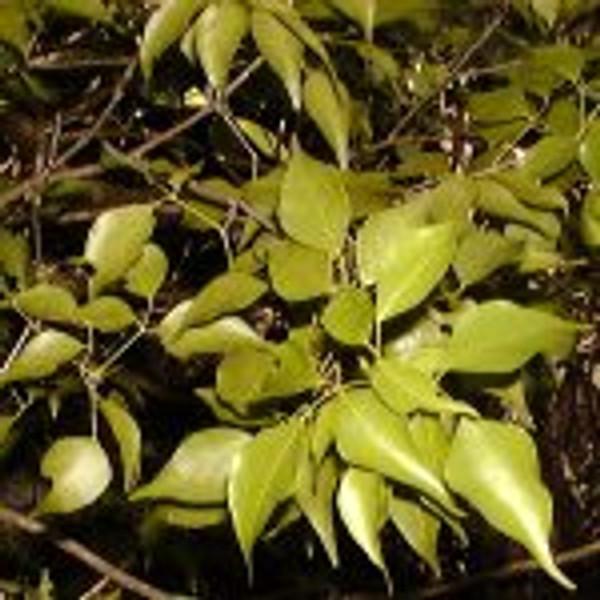 Amyris plant