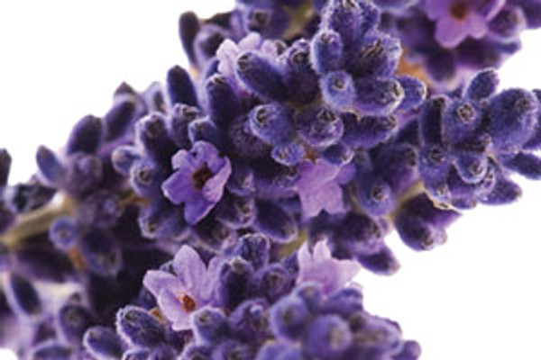 Aloe Vera Shampoo:  Lavender