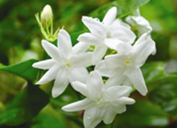 Jasmine Grandiflorum flowers